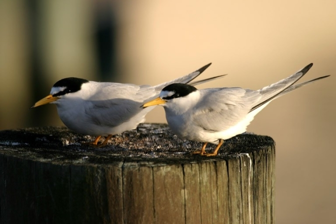 Wildlife Spotlight: Least Terns