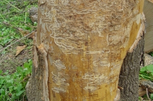 Damage to an Ash trunk by Emerald Ash Borer larvae