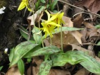 Yellow Trout Lily, Erythronium americanum, photo: Julie Lundgren, NYNHP