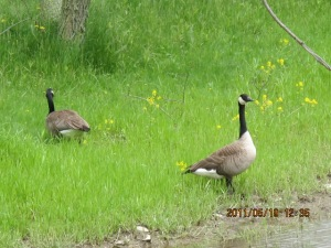 These Canada geese were some of the first creatures checking out the new real estate