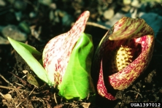 Skunk cabbage, Symplocarpus foetidus. photo: Joseph O'Brien, USDA Forest Service