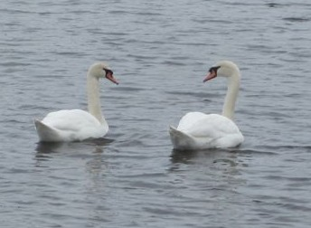 Mute swans are easily discriminated from native tundra and trumpeter swans by their orange beaks. Photo by NYS Parks