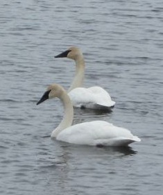 Trumpeter swans, photo by USFWS