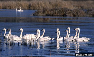 Tundra swans, photo by Terry Spivey, USDA Forest Service