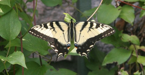 Eastern Tiger Swallowtail. Photo by Lilly Schelling.