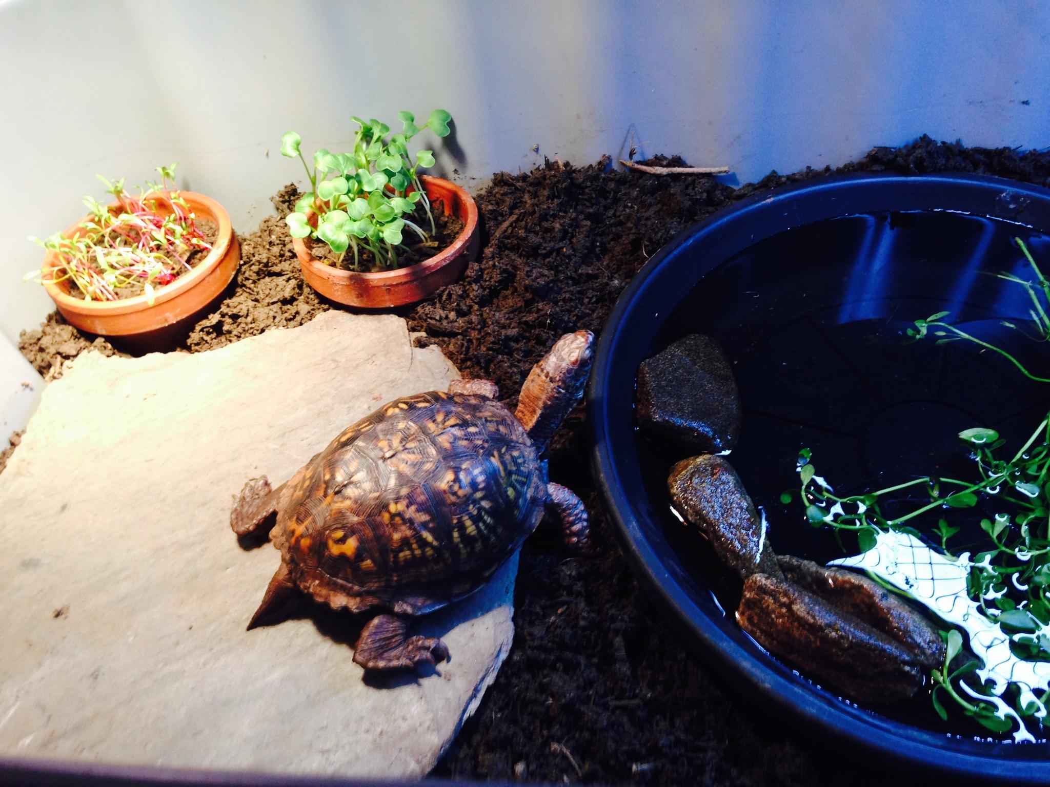 Moreau turtle Daryle eastern box turtle