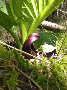 Riddell_Skunk_cabbage_ParisHarper