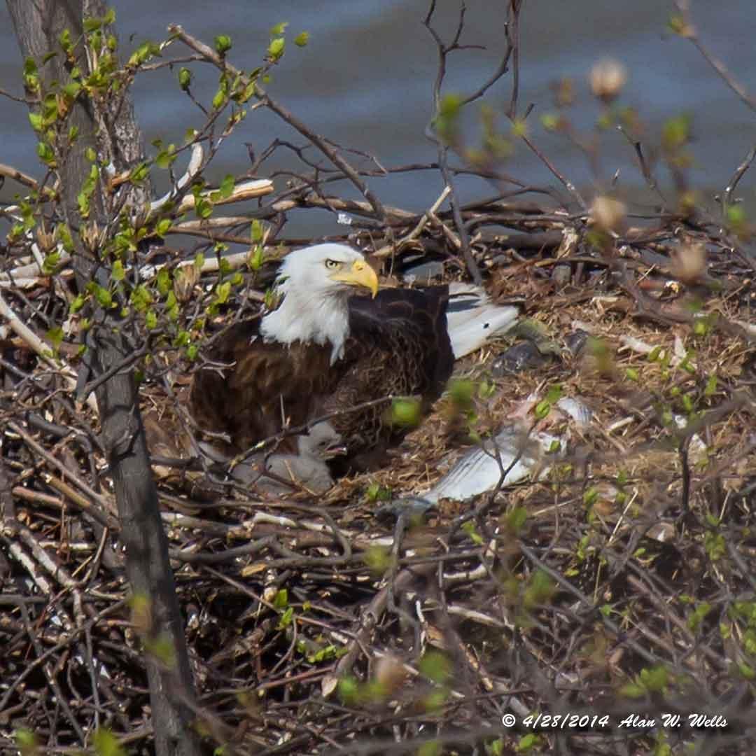 how to build a bald eagle nest