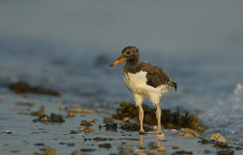 An Oystercatcher chick, photo by New York Audubon.