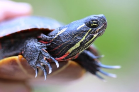 Painted turtle, by Matt Schlesinger, NYNHP