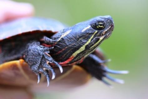 Painted turtle, by Matt Schlesinger, NYNHP