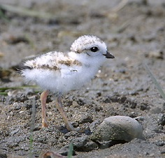 Piping Plover Chick, photo by Patrick Comins