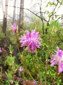 Rhodora (Rhododendron canadense), a rare plant documented at Minnewaska. Photo by Alyssa Reid