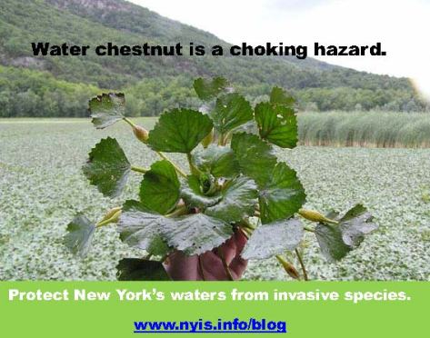 Water_chestnut2