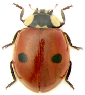 The two-spotted ladybug