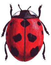 The nine-spotted ladybug