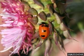 The transverse ladybug. Photo by Whitney Cranshaw, Colorado State University