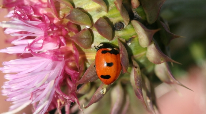 Lost Ladybugs