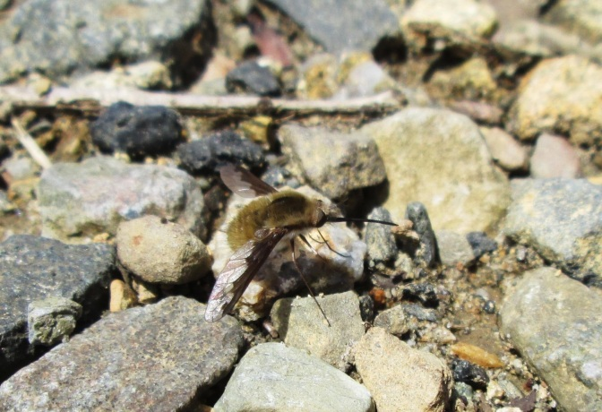 Wildlife Spotlight: the Bee Fly