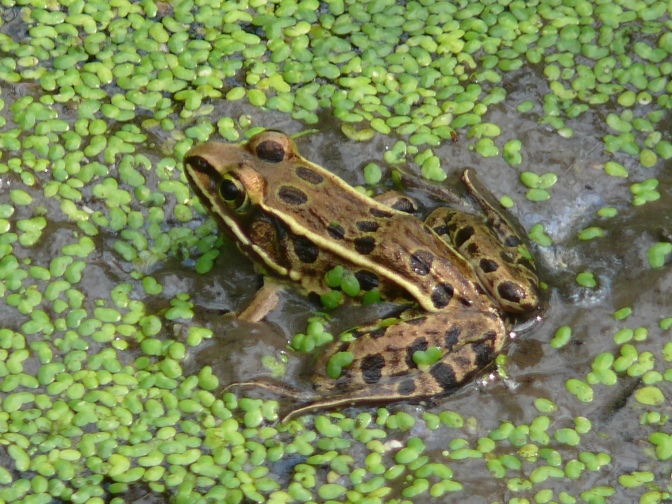 Spotting the Leopard Frog