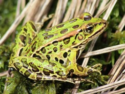The deceptively similar northern leopard frog (Rana pipiens), by M. Schlesinger