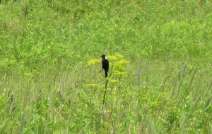 A far-off bobolink thrives in the grassland, by Melissa Plemons