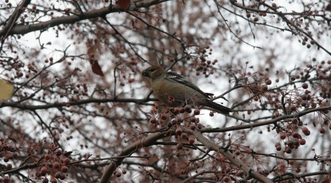 Wildlife Spotlight: Pine Grosbeak