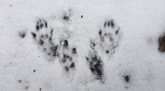Deciphering Winter Animal Tracks