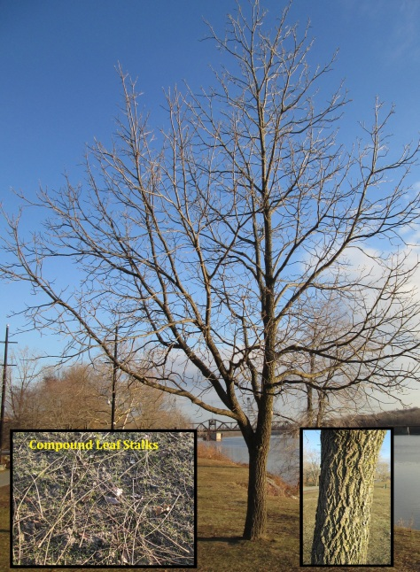 Black Walnut Tree Final