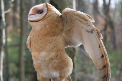 Barn Owl-Photo Taken by Lilly Schelling