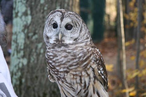 Barred Owl-Photo Taken by Lilly Schelling