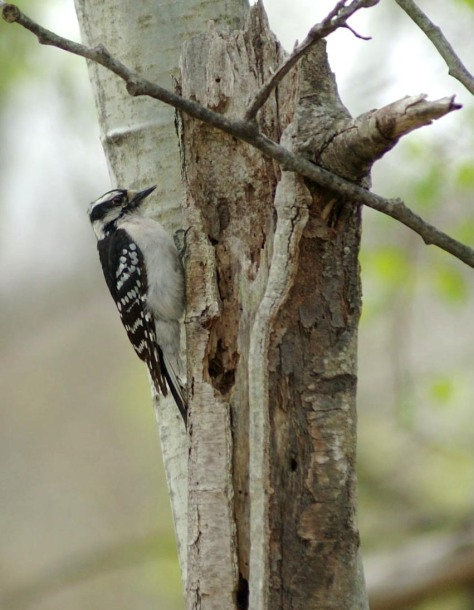 Downy Woodpecker very close vertical best master