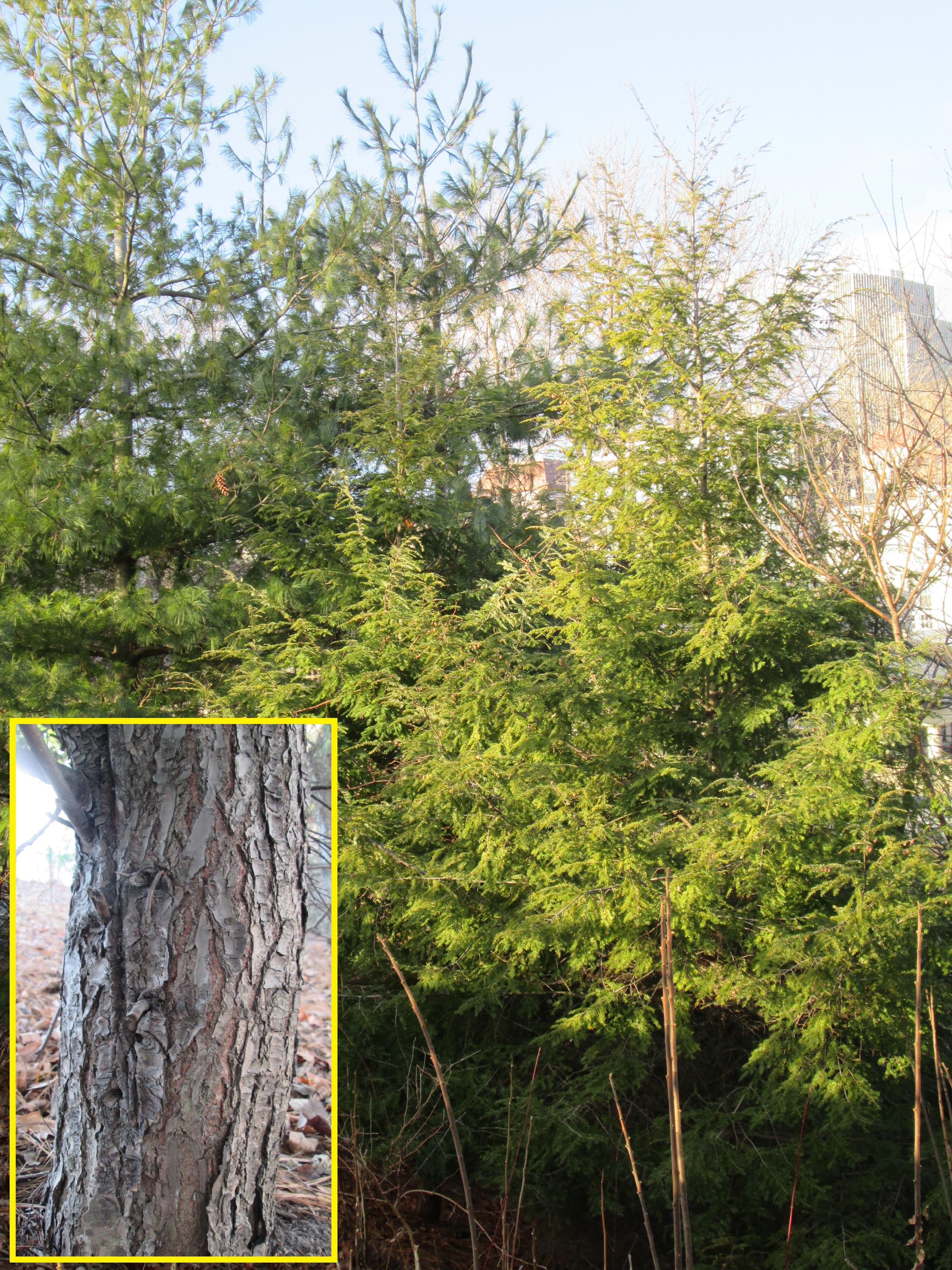 eastern hemlock | New York State Parks Blog