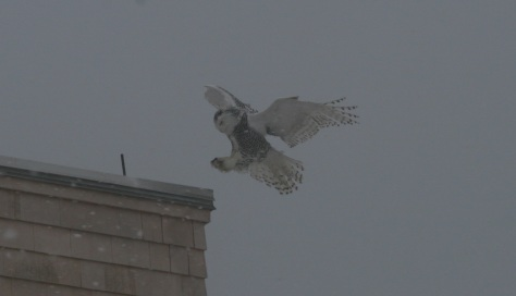 Snow Owl_Lilly Schelling