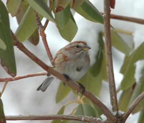 Tree Sparrow  close 3-5-05 - 0037