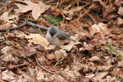 Tufted Titmouse-Photo Taken by Lilly Schelling