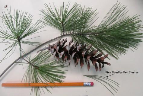 White Pine LS 1