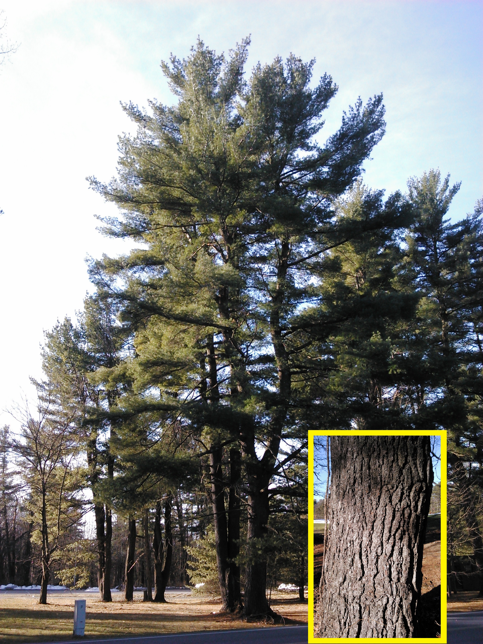 Winter tree identification part ii evergreen trees new for The evergreen