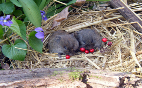 Cute voles eating