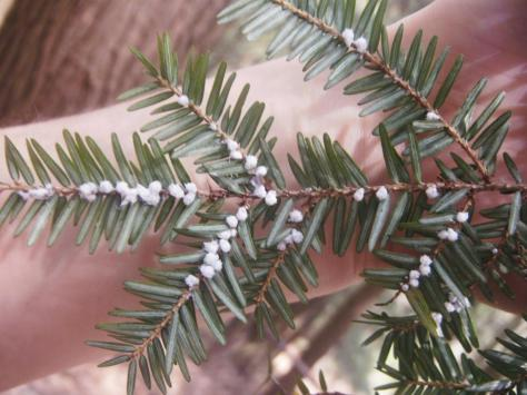 Hemlock Woolly Adelgid appears as white fluffy balls on the underside of hemlock branches during the cooler months.