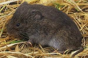 Meadow vole Photo courtesy of www.fcps.edu.