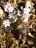 Hepatica triloba. Photo by J. Lundgren, NYNHP.