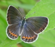 Female Karner blue butterfly. Photo by Paul Labus, The Nature Conservancy, Indiana.