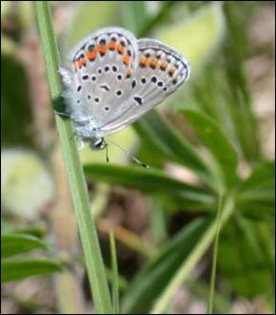 Underside of the Karner blue butterfly. Photo by USFWS; Phil Delphey.