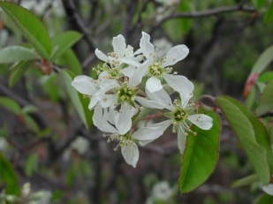 Shadbush Amelanchier. Photo by S. Young, NYNHP.