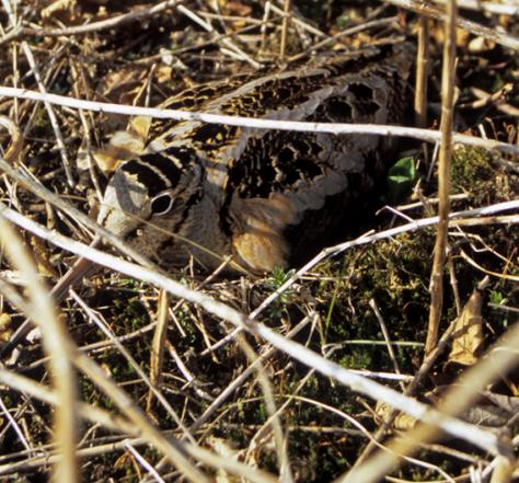 Woodcock nesting