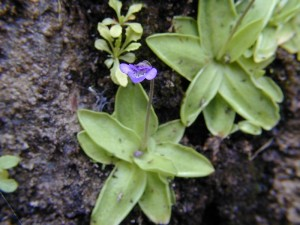The species we have in NY has purple flowers. Photo by Troy Weldy, The Nature Conservancy.