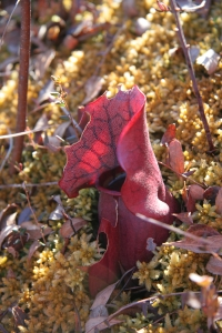 Purple pitcher plant. Photo by Lilly Schelling, OPRHP.