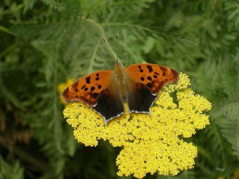 q mark butterfly