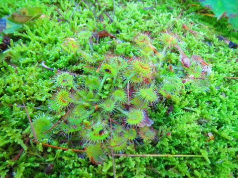 Sundew. Photo by Lilly Schelling, OPRHP.